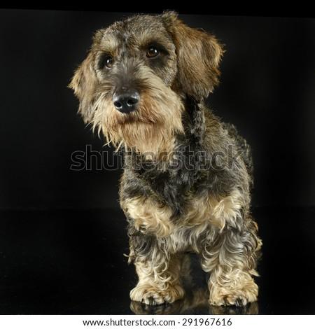 lovely puppy wired hair dachshund standing in black photo studio Stock photo © vauvau