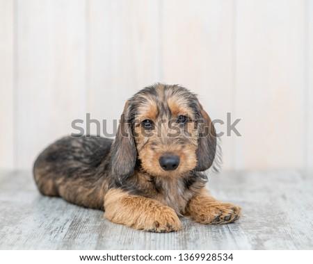 cabelo · curto · cachorro · bassê · retrato · branco · feliz - foto stock © hsfelix