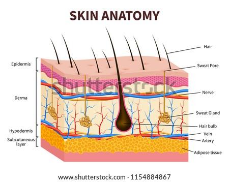 Healthy artery anatomy, artery layers detailed illustration on a Stock photo © Tefi
