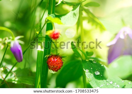 Ripe strawberry on a stalk with a drop of water on a background of greenery. Organic berry. Stock photo © artjazz