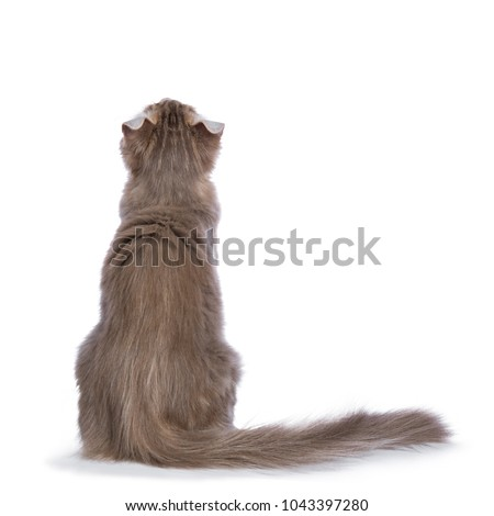 Lilac blotched tabby American Curl cat / kitten, isolated on white background. Stock photo © CatchyImages