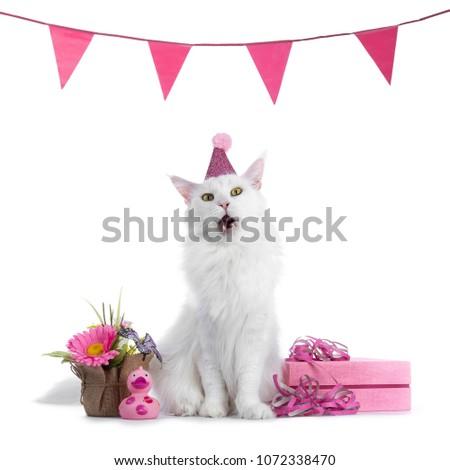 Sweet твердый белый Мэн кошки девушки Сток-фото © CatchyImages