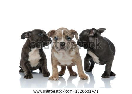 3 American bully dogs laying and standing together looking back Stock photo © feedough