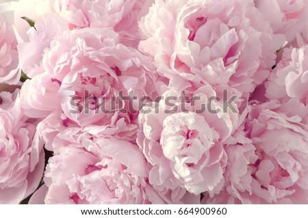 Fresh peony flowers ストックフォト © neirfy