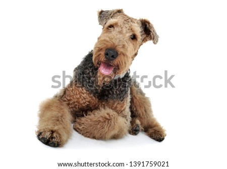 Studio shot of an adorable Airedale terrier and a Black Russian  Stock photo © vauvau