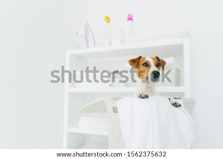 Photo of jack russel terrier in laundry basket with towels, white washing room with console. Domesti Stock photo © vkstudio