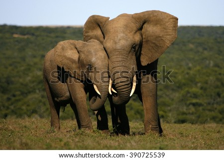 African elephant (Loxodonta africana) and white rhinocerons (Cer Stock photo © ajlber