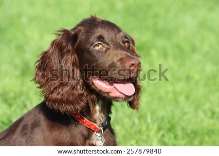 very cute young liver working type cocker spaniel puppy running  Stock photo © chrisga