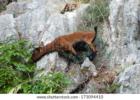 the wild Mallorcan goat in  Sa Calobra bay in Majorca Spain Stock photo © wjarek