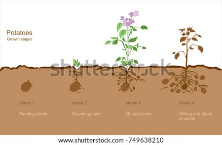 Finished process of planting potato field in the vegetable gard Stock photo © Yatsenko