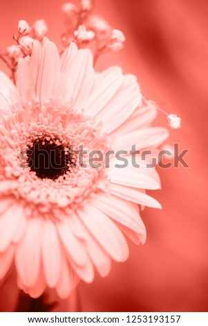 Gerbera flower in a color of the year 2019 Living Coral Pantone on a same color background. Greating Stock photo © artjazz