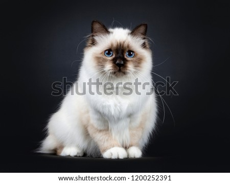 Excellent seal point Sacred Birman cat kitten, isolated on black background. stock photo © CatchyImages