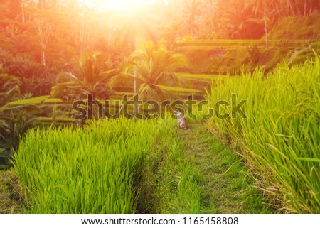 cat on green cascade rice field plantation at tegalalang terrace bali indonesia with sunlight stock photo © galitskaya
