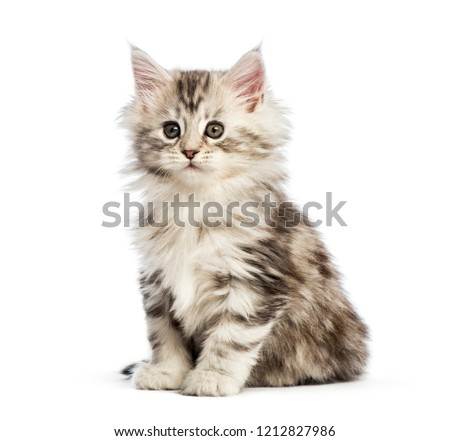 Cute Maine Coon kitten with on white background. Stock photo © CatchyImages