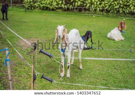cute white goat with horns standing tall in a goat pen at desa dairy farm calf pen Stock photo © galitskaya