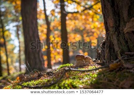 Nagy porcini gomba nő tölgy ősz gombák Stock fotó © romvo