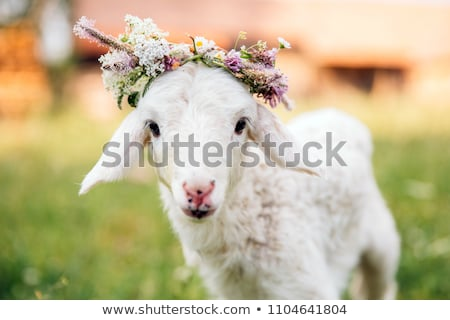 Cute White Sheep With A Flower. Stock photo © hittoon