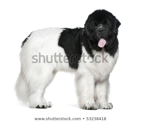Godny podziwu nowa fundlandia psa piękna sam Zdjęcia stock © vauvau