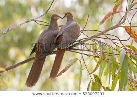 Duif australisch vogel liefde natuur Blauw Stockfoto © mroz