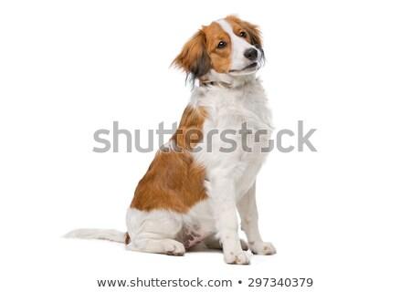 гончая белый собака животного млекопитающее внутренний Сток-фото © eriklam
