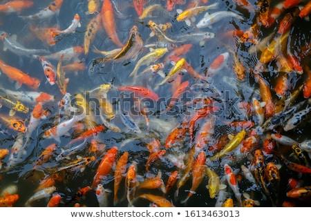 Sazan gruplar renkli su doğa arka plan Stok fotoğraf © bbbar