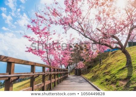 cherry blossom  and moutain Stock photo © yoshiyayo