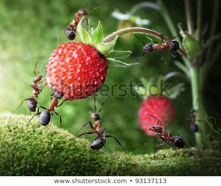 piros · hangya · zöld · természet · kert - stock fotó © sweetcrisis