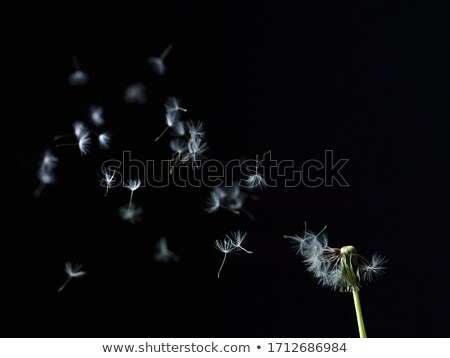 Blown dandelion head stock photo © Arrxxx