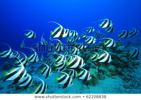 fish - Heniochus diphreutes Stock photo © cookelma