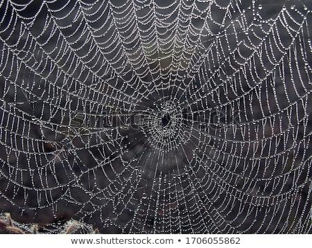 Black spider on blue web Stock photo © blotty