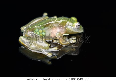 glass frog stock photo © macropixel