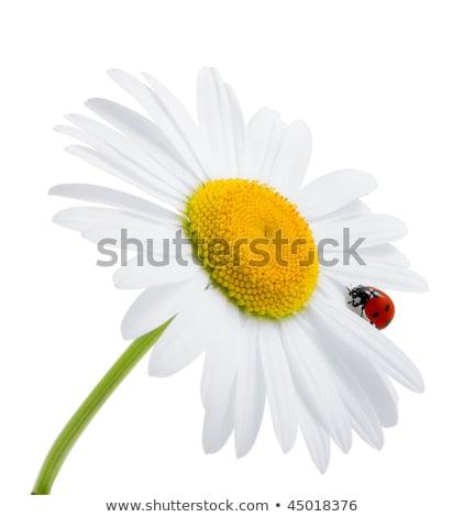 Little ladybug on the yellow flower plant Stock photo © sweetcrisis