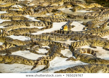 Krokodil farm részlet csoport alligátorok fektet Stock fotó © CaptureLight
