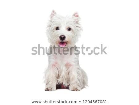 ストックフォト: 西 · テリア · 肖像 · 暗い · 森林 · 犬