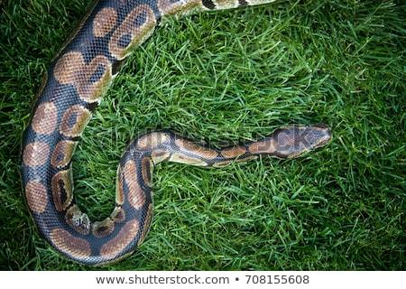 Píton grama retrato serpente animal ao ar livre Foto stock © saddako2