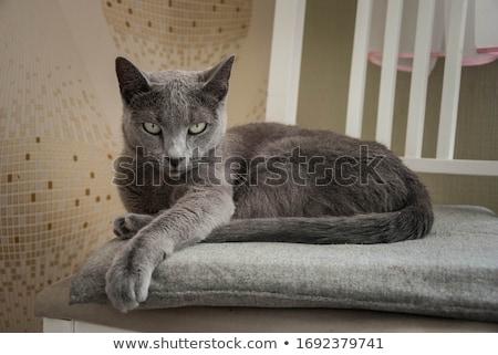 Russo azul gato branco olhos fundo Foto stock © EwaStudio