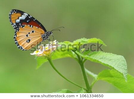 Orange Butterfly Pollinating Flower Stock photo © rhamm