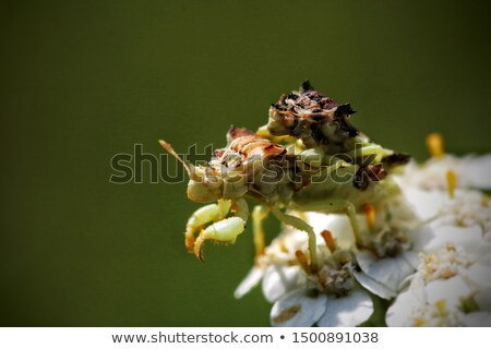 Ambush Bugs Mating Stock photo © brm1949