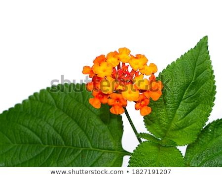 Geel Rood bloem bloemen Stockfoto © stocker