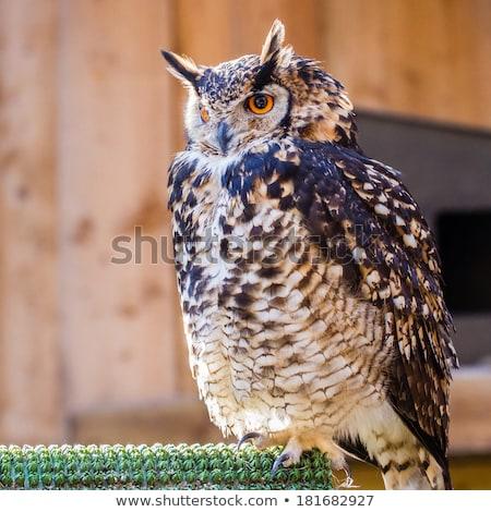 Puhu kuşu esaret portre kuş kartal hayvanat bahçesi Stok fotoğraf © bradleyvdw
