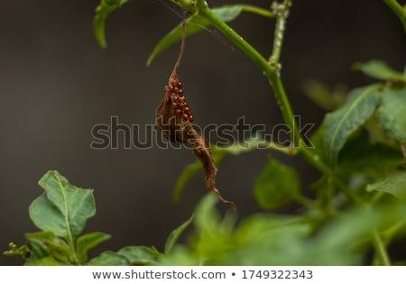 Aporia crataegi Eggs on Green Leaf Close-up Stock photo © michaklootwijk