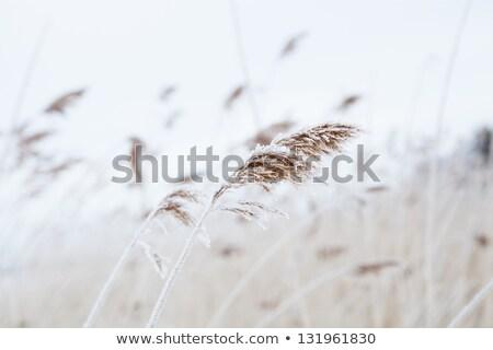 Fragile winter reeds Stock photo © Anterovium