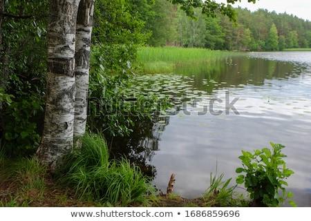 Güzel yaz huş ağacı orman manzara Rusya Stok fotoğraf © Mikko