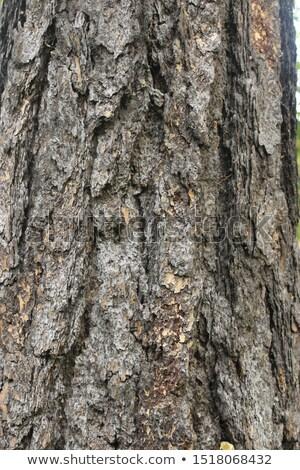 écorce détail européenne texture bois Photo stock © taviphoto