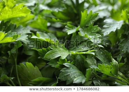 петрушка трава изолированный белый лист фон Сток-фото © natika