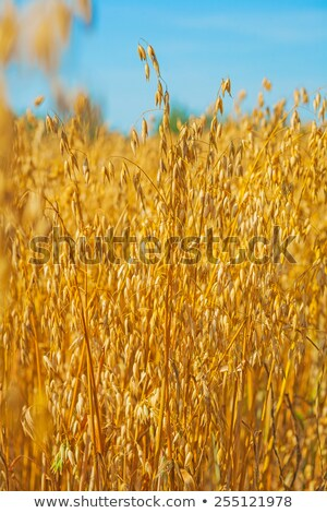 idyllic rural scene in sunset oat close up view stock photo © dariazu