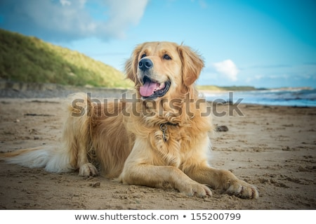 a beautiful golden retriever pet gundog Stock photo © chrisga