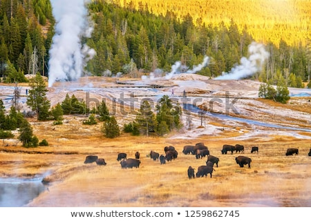 bison near water and forest Stock photo © compuinfoto
