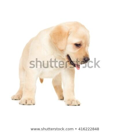 dog puppy looking down Stock photo © OleksandrO