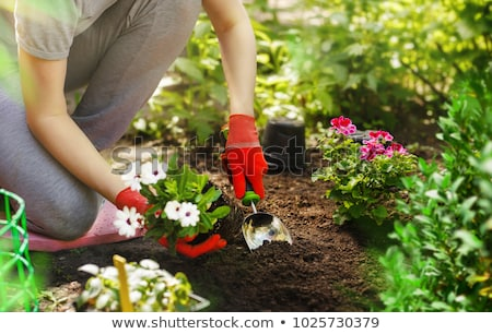 woman planting flowers in the garden stock photo © deandrobot
